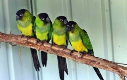 3 NANDAY CONURE HENS FOR $350