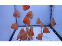 Pigeon blood discus for sale