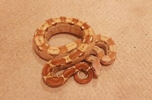 *High End Adult Boas* (for sale/trade)
