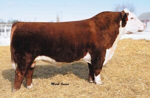 Wanting to rent a Hereford bull