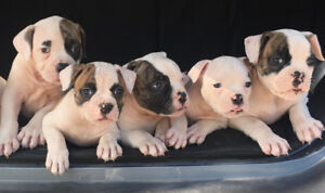 PURE BRED QUALITY AMERICAN BULLDOG PUPPIES