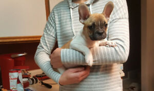 Playful Frenchton Male Puppy!!