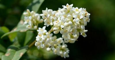 15 Semillas de Aligustre (Ligustrum Lucidum)