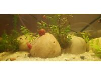 3 Ramshorn Snails - Red. Able to post. Tropical marine tank cleaners team !