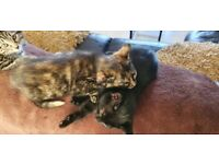 READY - 3 beautiful female kittens, Tabby, Tortoiseshell and Black looking for their forever homes