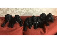 Adorable Cocker Spaniel Puppies