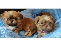 2x KC Registered Gold Male Shih Tzu Puppies