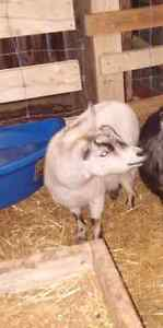 Female pygmy goat