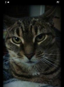 Lost- 5 yr old Spayed Tabby Cat- LUCY London Ontario image 1