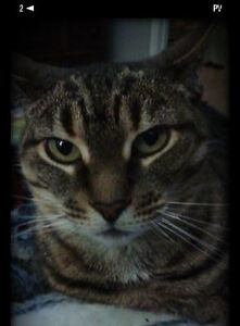 Lost- 5 yr old Spayed Tabby Cat- LUCY London Ontario image 2
