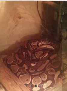 3 PYTHONS ROYAL À VENDRE