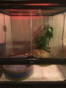 Ball Python  w/ Glass Cages for Sale