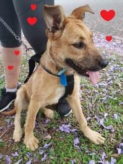 Loveable Family Friendly Dog, 6 months old - Bracken Ridge