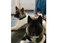 American Akita puppy's