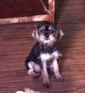 Mini Schnauzer x Cavalier Muswellbrook Muswellbrook Area Preview