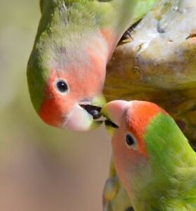 Lovely lovebirds