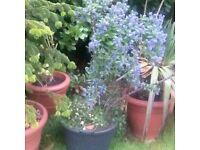 Blue Cushion garden plant in a large tub
