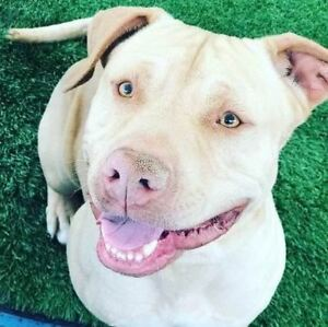 "Adult Male Dog - Labrador Retriever-Pit Bull Terrier: ""Jameson"""