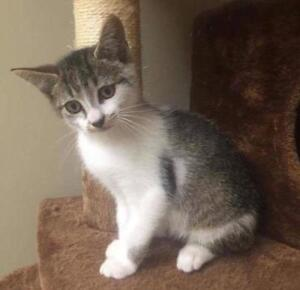 "Baby Female Cat - Domestic Short Hair: ""Cleo"""