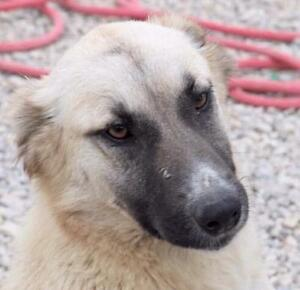 "Adult Male Dog - Yellow Labrador Retriever-Shepherd: ""OJIE"""
