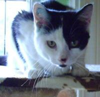 """Young Male Cat - Domestic Short Hair-black and white: """"Hiccup"""""""