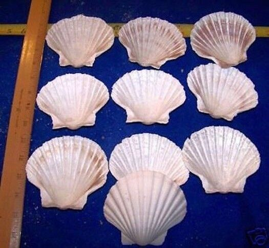 """6  HUGE BAKING SCALLOP CLAM Scallops SEAFOOD COOKING SHELLS DISH  4 1/2""""+"""