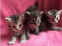 Gorgeous fluffy kittens silver tabby black smoke 3/4 maine coon