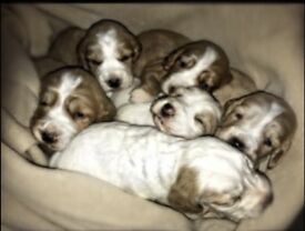 KC boy cocker spaniel pups for sale