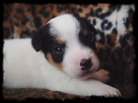 AKC/CKC Reg Parson Russell Terrier puppies