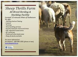 Herding Lessons - All Breeds Welcome
