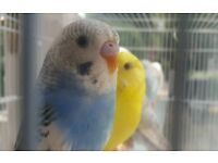 HIGH & STRONG QUALITY Baby Budgies [£25 EACH] For Sale + Cages From £20