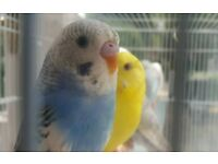 HIGH & STRONG QUALITY Baby Budgies [£15/£20 EACH] For Sale + Cages From £20