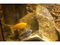 Mixed group of Malawi cichlids for sale