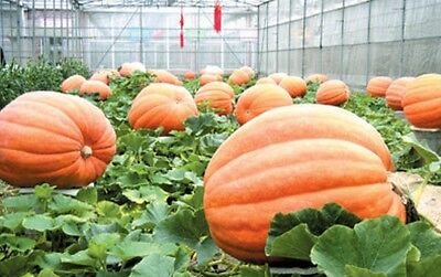 5 Giant Big Max Pumpkin Seeds 2018 100 To 300 Lbs Possible