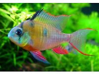 Bolivian Red Ram - Beautiful and Gentle Tropical Community Fish