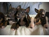 English bull terrier puppies available now