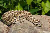 Looking for a western hognose