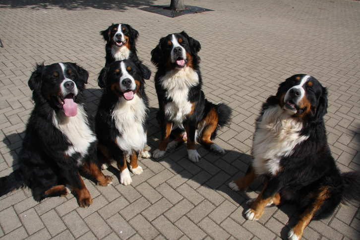 Vakantieboerderij Inge's Huuske voor Berner Sennen honden