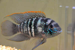 Blue Acara South American Cichlids for sale