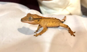 Selling 2 month old Gecko