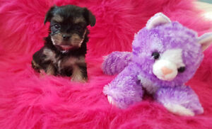 ADORABLE MORKIE PUPS
