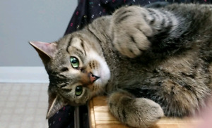 Cute and friendly male tabby cat - free to good home