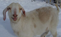 Yearling goat for sale.