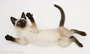 Siamese kitten wanted