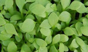 200 Samen Winterportulak Portulak Postelein Claytonia perfoliata