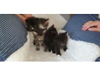 Beautiful kittens for sale( different prices)