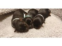 Gorgeous teacup Yorkshire Terrier puppies boys