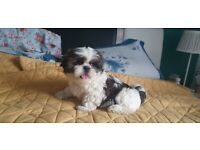 Adorable shih-tzu waiting for a loving family