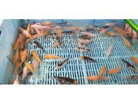Any 5 Koi carp pond fish for £20 still loads left