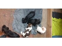 5 puppy for sale mum pointer and dad springer